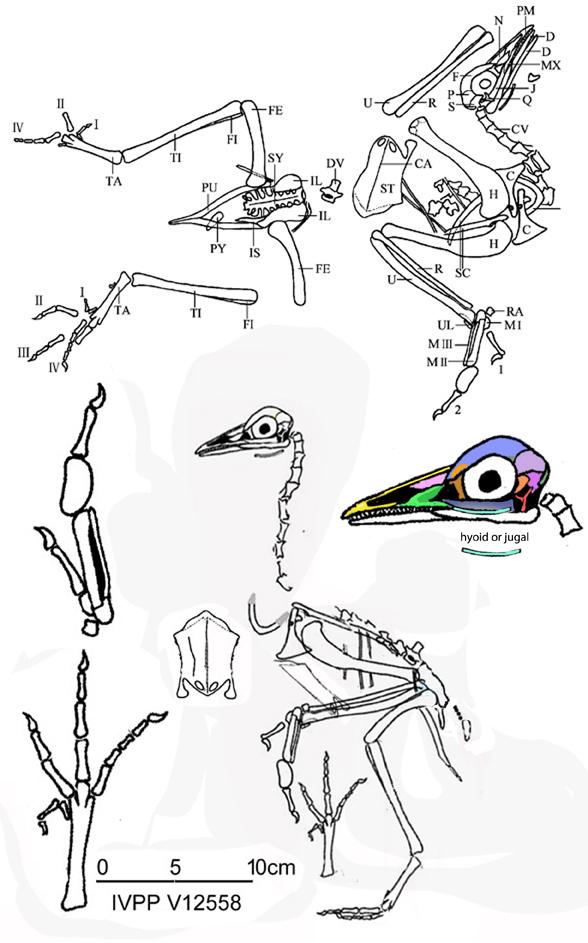 yanornis holotype
