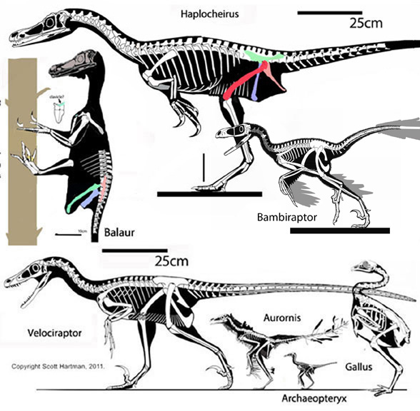 Balaur, Veociraptor and Haplocheirus to scale