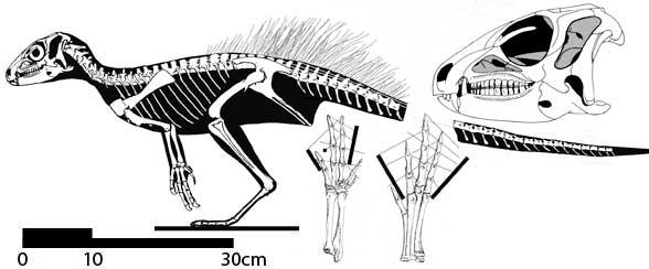 Lesothosaurus Skull