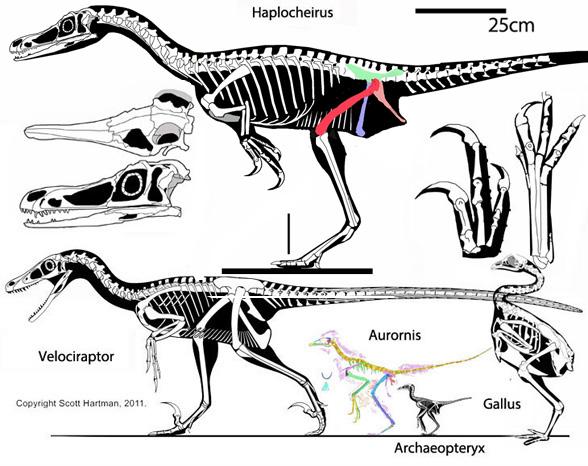 haplocheirus  velociraptor  shuuvia  mononykus