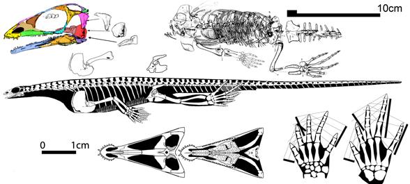 claudiosaurus588.jpg