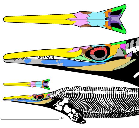 cymbospondylus buchseri