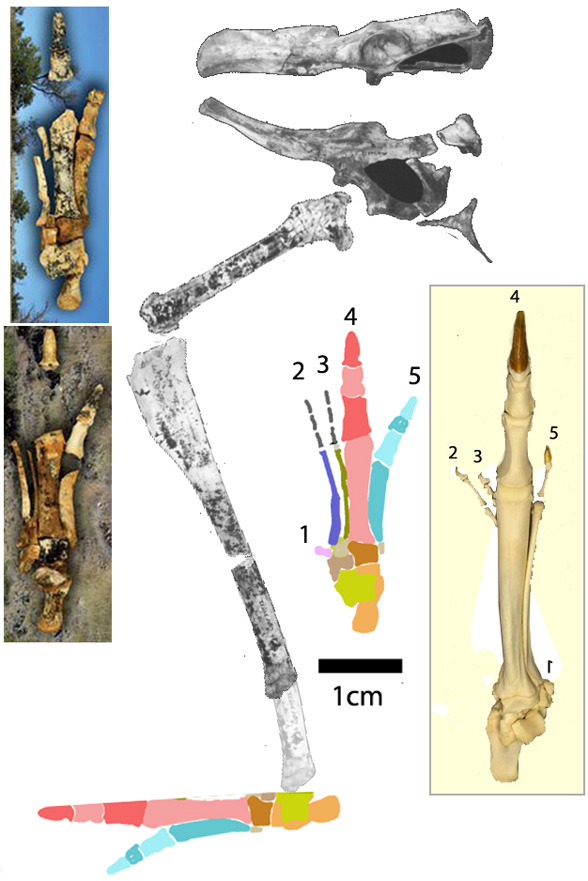 Nambaroo hind limb and pes