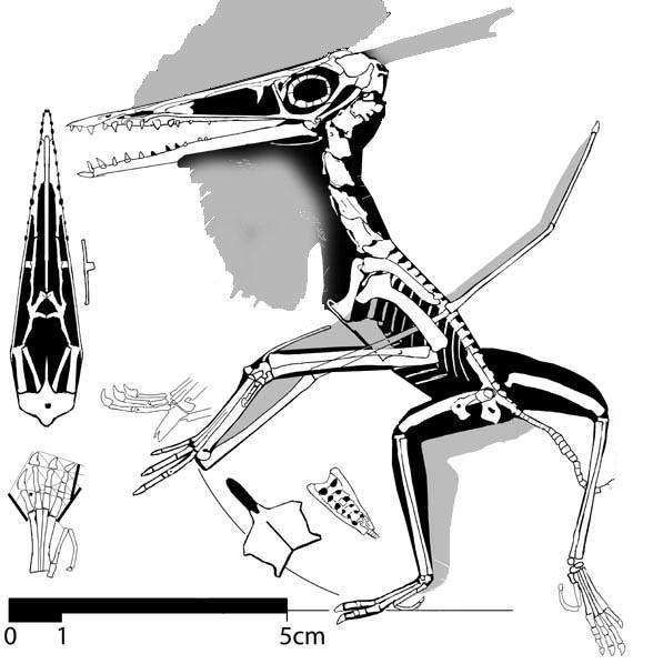 http://www.reptileevolution.com/images/lepidosauromorpha/diadectidae/lepidosauriformes/fenestrasauria/pterosauria/No.-12-588.jpg