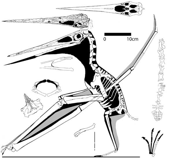 Nyctosaurus gracilis, the FMNH specimen