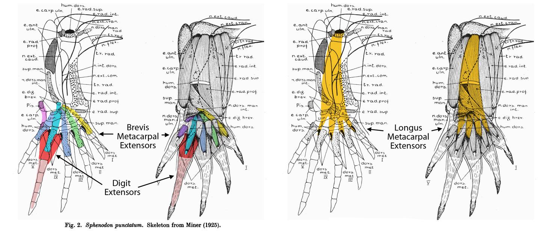 Sphenodon Manus Muscles And Tendons