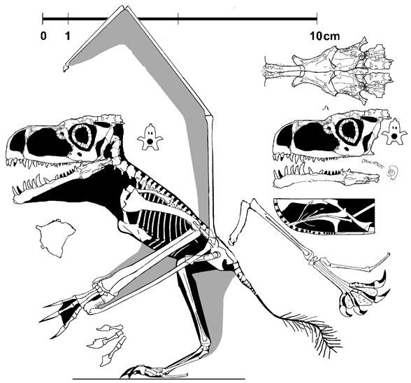 http://www.reptileevolution.com/images/lepidosauromorpha/diadectidae/lepidosauriformes/fenestrasauria/pterosauria/anurognathus588.jpg