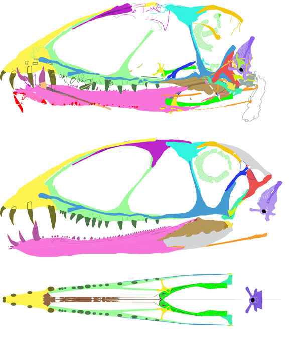 Dimorphodon skul reconstruction