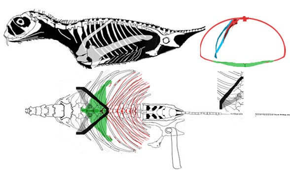 Jeholopterus cross section