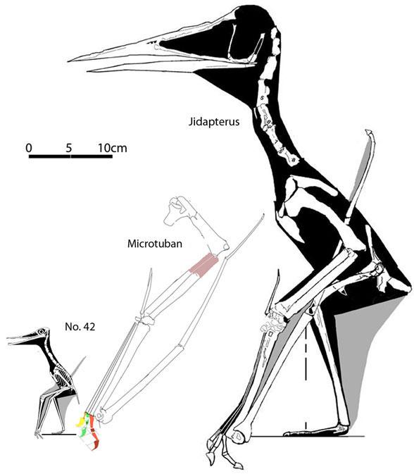 http://www.reptileevolution.com/images/lepidosauromorpha/diadectidae/lepidosauriformes/fenestrasauria/pterosauria/n42andmicrotuban588.jpg