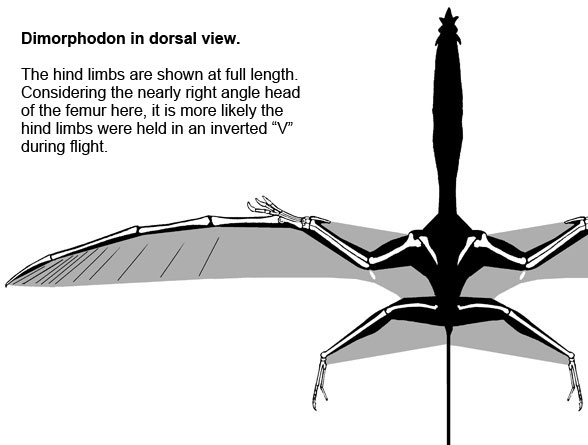 Dimorphodon in dorsal view