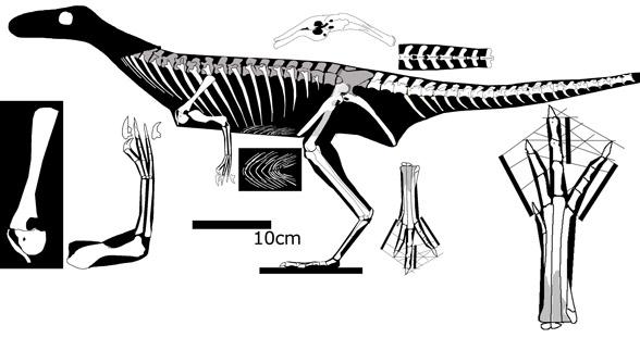 Segisaurus and Zuolong